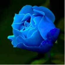 50 Pcs Blue Rose Seeds DIY Home Garden Dec