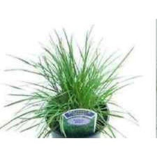 Grass - Blue Hair Grass - Koeleria Glauca - 200 Seeds