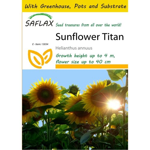 Saflax Potting Set - Sunflower Titan - Helianthus Annuus  - 20 Seeds - with Mini Greenhouse, Potting Substrate and 2 Pots