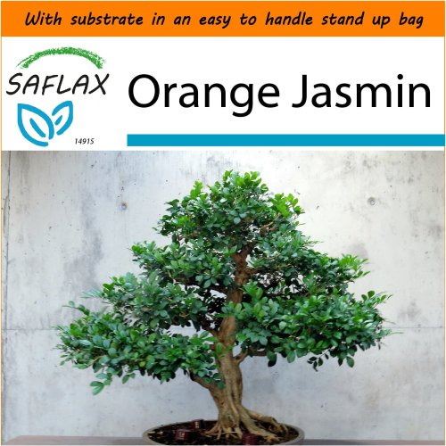 SAFLAX Garden in the Bag - Bonsai - Orange Jasmin - Murraya - 12 seeds