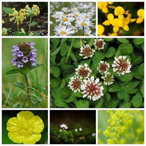 RP Seeds British Native Wildflower Seeds - Flowering Lawn Mix - 2g