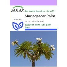 Saflax  - Madagascar Palm - Pachypodium Lamerei - 10 Seeds