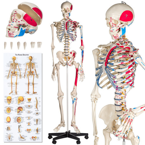 Human skeleton and muscle painting - white