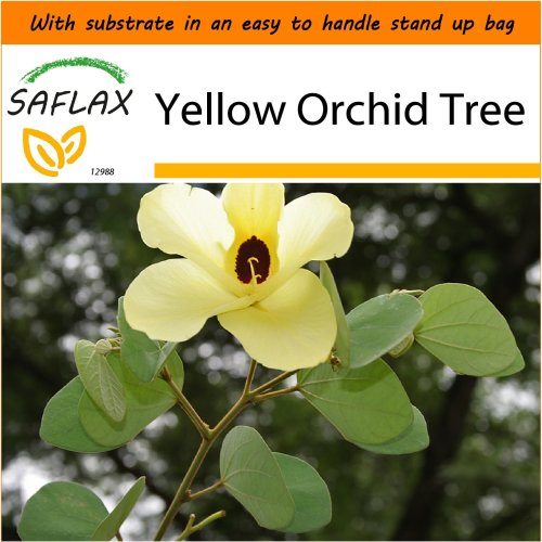 SAFLAX Garden in the Bag - Yellow Orchid Tree - Bauhinia - 30 seeds