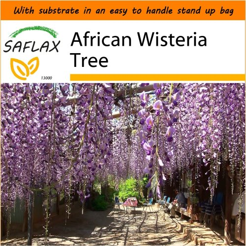 SAFLAX Garden in the Bag - African Wisteria Tree - Bolusanthus - 10 seeds