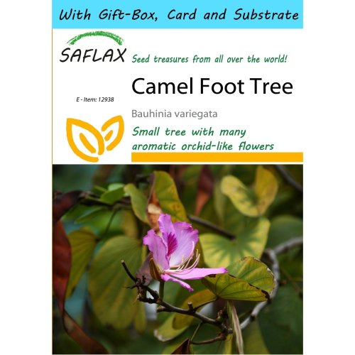 Saflax Gift Set - Camel Foot Tree - Bauhinia Variegata - 8 Seeds - with Gift Box, Card, Label and Potting Substrate