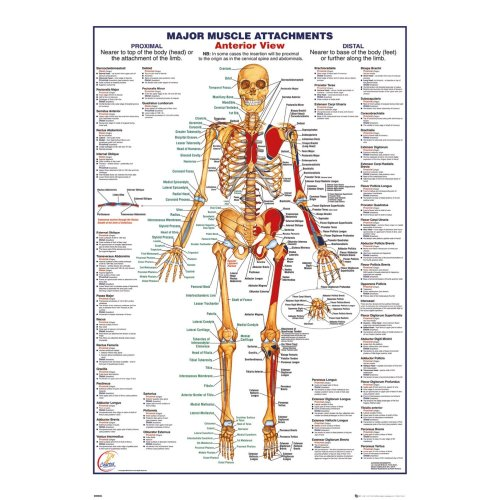 Human Body Major Muscle Attachments Anterior Maxi Poster