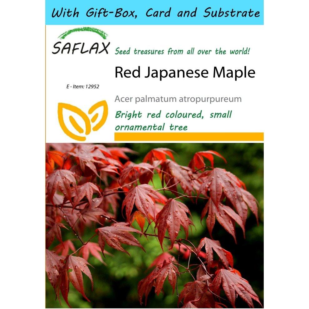 Saflax Gift Set Red Japanese Maple Acer Palmatum Atropurpureum