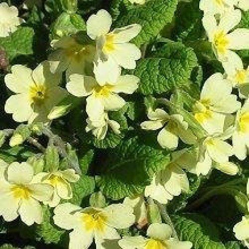 Wild Flower - Common Primrose - Primula Vulgaris - 300 Seeds