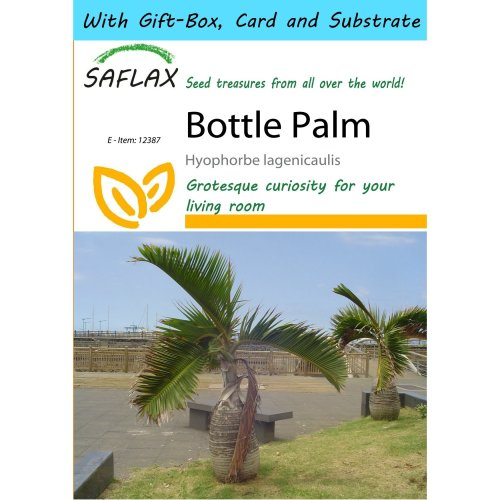 Saflax Gift Set - Bottle Palm - Hyophorbe Lagenicaulis - 3 Seeds - with Gift Box, Card, Label and Potting Substrate