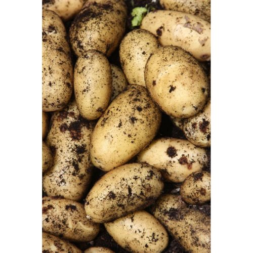 10 CHARLOTTE SECOND EARLY Salads Seed Potatoes Certified Scottish