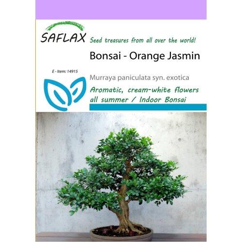 Saflax  - Bonsai - Orange Jasmin - Murraya Paniculata Syn. Exotica - 12 Seeds
