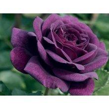 20 Purple Rose Flower Rose5 Seeds Garden Deco